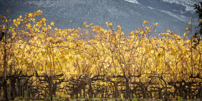 Etna vineyards at late autumn with old lava flows in the background